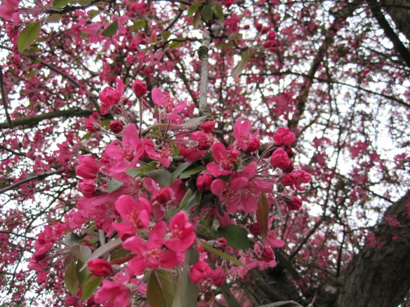 Blossoms of pink