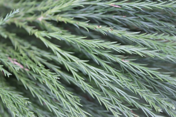 fir pines