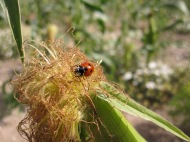 Sweetcorn and ladybird