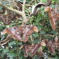 Atlas moths