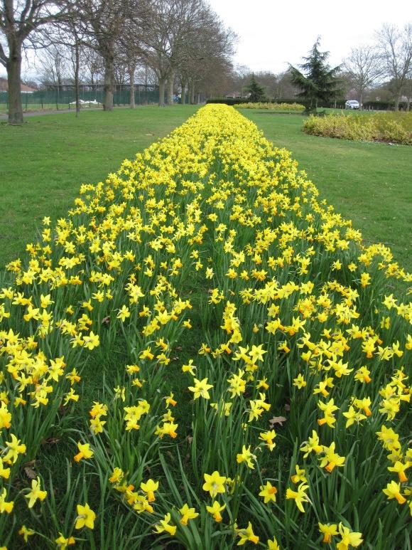 Daffodil runway