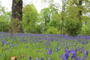 Bluebells in the Woodland Garden