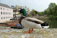 Friendly duck