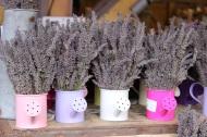 Lavender in pots