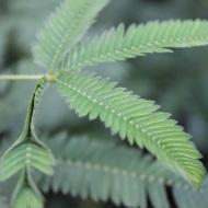 Sensitive plant
