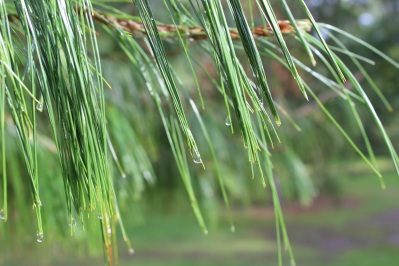 Evergreen tree needles and raindrops