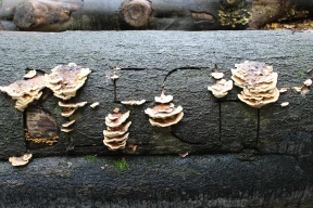Turkey tail mushrooms on tree trunk