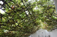 World largest vine