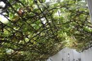 World largest vine