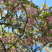 Blossoms in Greenwich Park