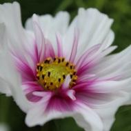 White pink flower