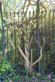 Branches intertwining with fence