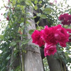 Mini hanging roses