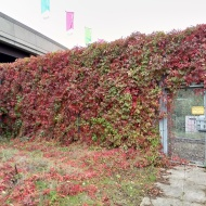 Wall of red leaves
