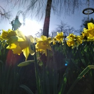Daffodils in sunlight