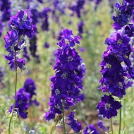 Purple delphiniums