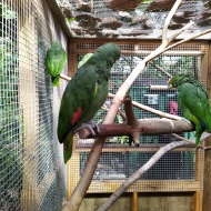 Orange-winged Amazon parrots