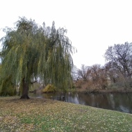 Weeping willow and lake