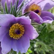 Blue Pasque flowers