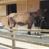 Poitevin donkey